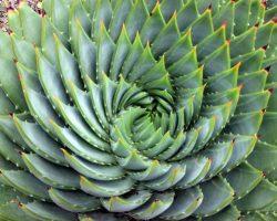 760px-Aloe_polyphylla_spiral